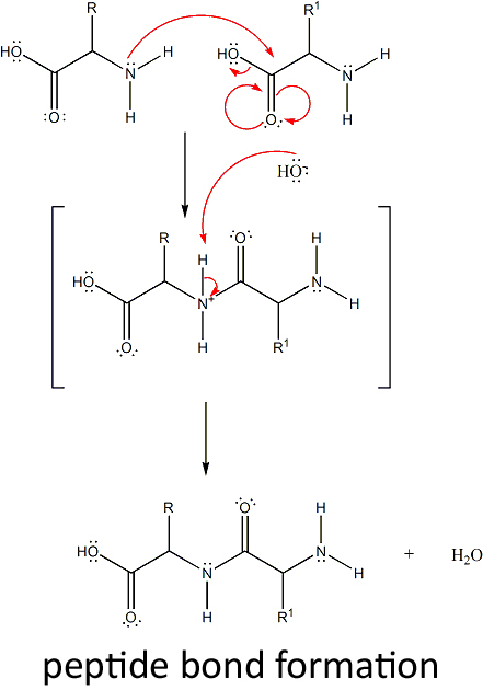 how to draw peptide bonds